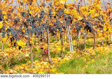 Blue grapes variety Zweigeltrebe, Lower Austria, Austria
