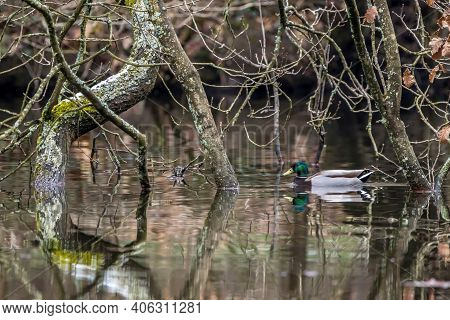 A Male Mallard Duck Swimming On A Little Pond Called Jacobiweiher Not Far Away From Frankfurt In Ger