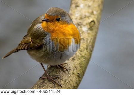 A Robin Songbird Looking For Food In Winter.