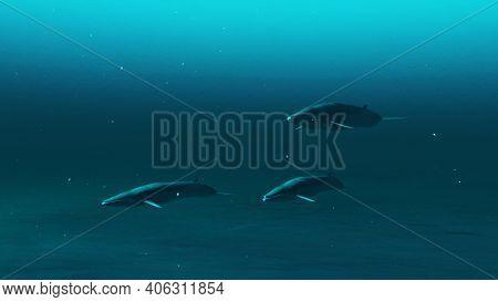 Three Rorqual Whales Swimming In The Deep Blue Ocean Water, Underwater Scene Of Rorqual Whales, Beau