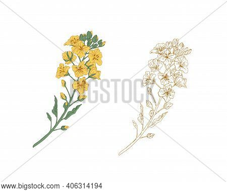 Yellow-colored Canola Flower And Outline Rapeseed Sprig. Two Branches Of Rape Plants. Hand-drawn Con