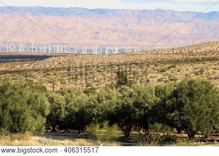 Olive Trees On An Agricultural Orchard Surrounded By Arid Badlands Taken At The Rural Colorado Deser