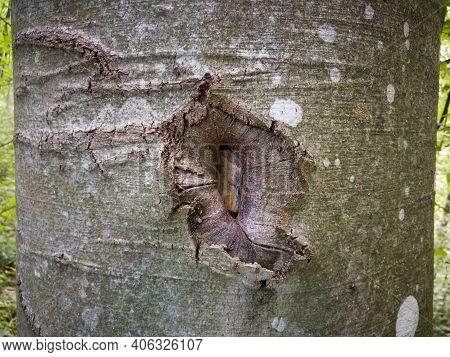 Damaged Beech Bark Close Up, Scar Or Injury On Surface Of Tree Bark
