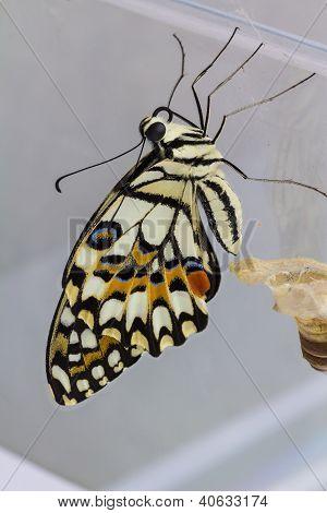 Lime Butterfly (papilio Demoleus Malayanus)