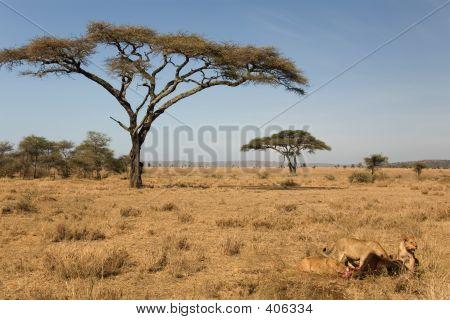 Animals 039 Lion