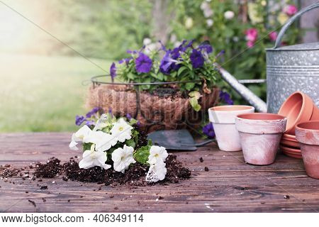 Outdoor Garden Bench With White And Purple Petunia Flowers In Front Of A Stand Of Hollyhock Plants.
