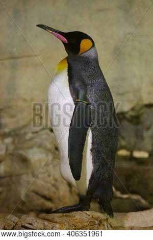 King penguin (Aptenodytes patagonicus). Wildlife animal.