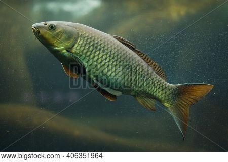 Common carp (Cyprinus carpio). Freshwater fish.