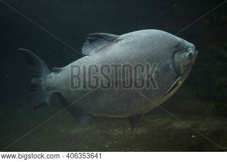 Tambaqui (Colossoma macropomum), also known as the giant pacu.