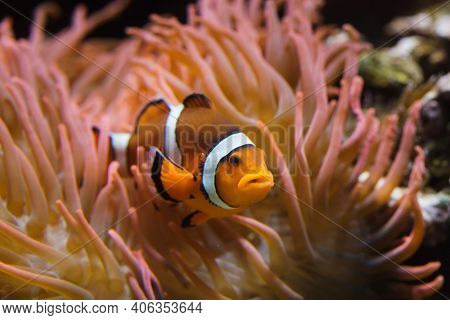 Ocellaris clownfish (Amphiprion ocellaris), also known as the false percula clownfish, swimming in the magnificent sea anemone (Heteractis magnifica).