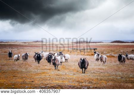 Goat Flock In Cloudy Weather By The Sea Grazing On A Field In The Fall