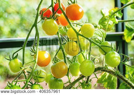 Fresh Green And Red Tomatoes In A Greenhouse In The Summer Lit Up By The Sun