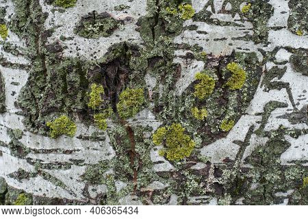 Gray Bark Of Populus Alba With Bright Yellow And Green Lichen And Moss