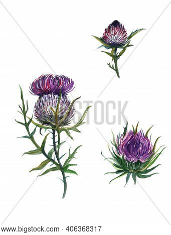 Watercolor Thistle, Wild Flowers Illustration, Meadow Herbs. Vintage Thistle Flowers With Green Leav