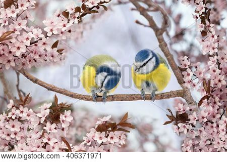 Beautiful Spring Scenery With Couple Of Blue Tit Birds Sitting On The  Blooming Tree
