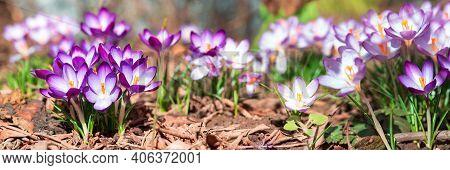 Banner 3:1. Panorama Of Blooming Purple Crocus Flowers On Meadow Under Sun Beams In Spring Time. Bea