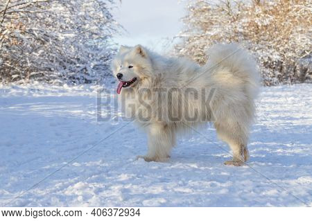 Samoyed - Samoyed Beautiful Breed Siberian White Dog Stands In The Snow And Has His Tongue Out. In T