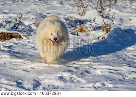 Samoyed - Samoyed Beautiful Breed Siberian White Dog Runs Across The Snow And Has An Open Mouth.