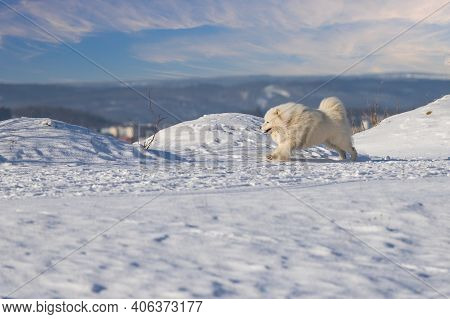 Samoyed - Samoyed Beautiful Breed Siberian White Dog Running In The Snow. He Has An Open Mouth And L