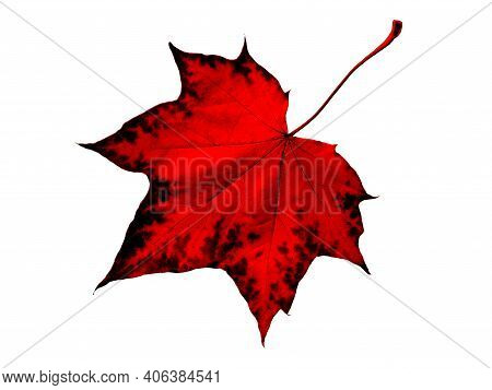 Red Maple Leaf Isolated On White Background. Maple Red Leaf Canada Symbol. Red Maple Leaf As  Autumn