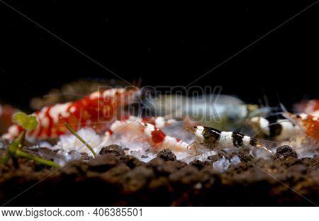 Main Focus On Black Bee Dwarf Shrimp Enjoy Eat Food With Other Type Of Shrimp In Fresh Water Aquariu