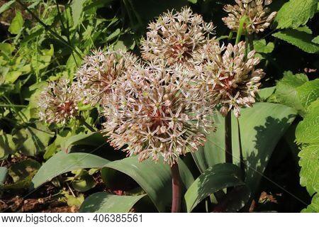 Allium Karataviense Ornamental Onion Flower In The Organic Garden. Allium Karataviense Is A Herbaceo