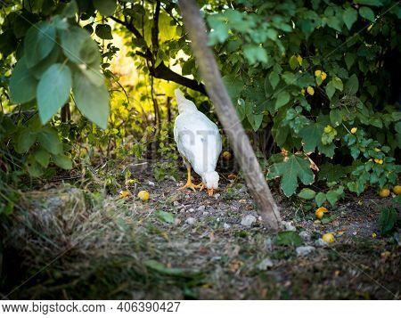Pecking White Chicken In Rural Garden Scene