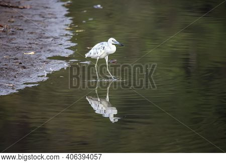 A Young Egret Hunts In The Shallow Waters Of A Lake. Reflection Of A Molting Bird In The Shallow Wat