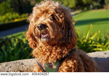 Cavapoo Dog Resting In The Sun At The Park, Mixed -breed Of Cavalier King Charles Spaniel And Poodle