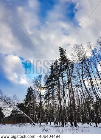 Beautiful Coniferous Forest With Birch Grove On A Winter Sunny Day In Riga, Latvia