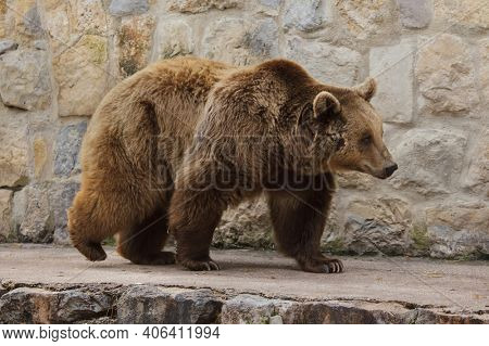 Brown bear (Ursus arctos). Wild life animal.
