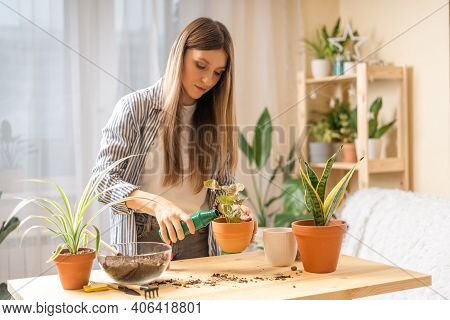 Woman Gardeners Fertilizer Plant In Ceramic Pots On The Wooden Table. Home Gardening, Love Of Housep