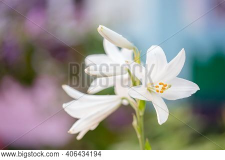 White Lilies In Summer Garden. Yellow And Orange Lilies In The Garden, Lily Joop Flowers, Lilium Ori