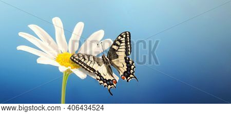 Butterfly sits on a chamomile flower. Butterfly with beautiful wings. Macro. close up