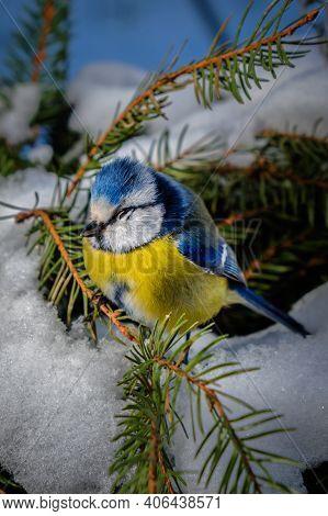 Selective Focus, Beautiful Dressed Bird Blue Tit Or Bird Blue Bird, Bird Hunger And Lack Of Food In
