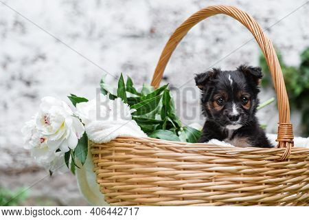 Happy Black Puppy Portrait Sits In Basket On White Wall Background. Happy Dog Pooch, Not Purebred Ou
