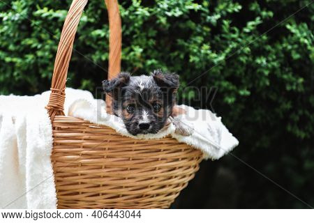Happy Black Puppy Sits In Basket On Background Of Green Nature. Happy Dog Pooch, Not Purebred On Whi