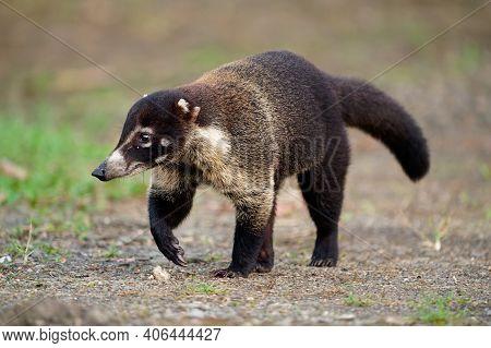 White-nosed Coati - Nasua Narica, Known As The Coatimundi, Family Procyonidae (raccoons And Relative
