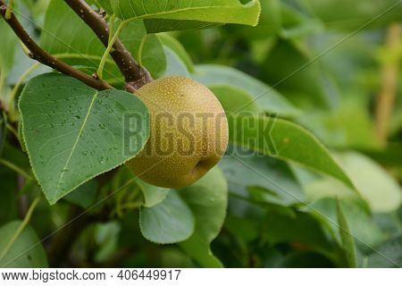 Japanese Pear Fruit / Cultivation Of Japanese Pears