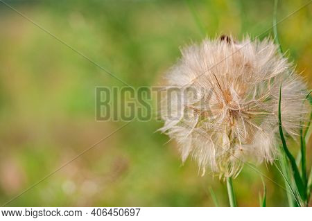 Flower Similar To A Dandelion Tragopogon Tragop Gon D Bius, Meadow Salsify, Showy Goat's Beard Or Me