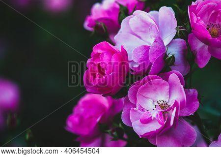 Rich Pink Lovely Roses In Evening Summer Garden - Rosa Angelica, Closeup