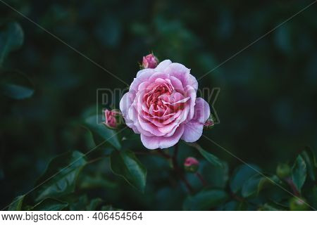 Pirouette Rose - Single Pink Garden Rose With Rosebuds Against Dark Green Leaves