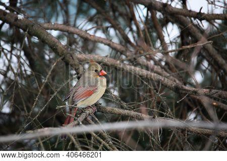 Cardinal female bird sitting on tree branch outside