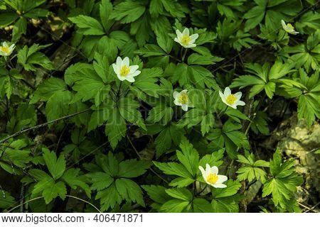 Anemone Nemorosa Blooming