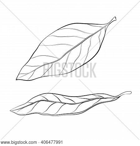 Hand Drawn Bay Leaves Vector Illustration Isolated On White. Sketch Of Dry Bay Leaf Set. Outline Doo