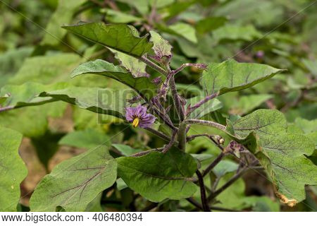 The Eggplant Or Brinjal Or Solanum Melongena Flower And Vegetable Is Grown Worldwide