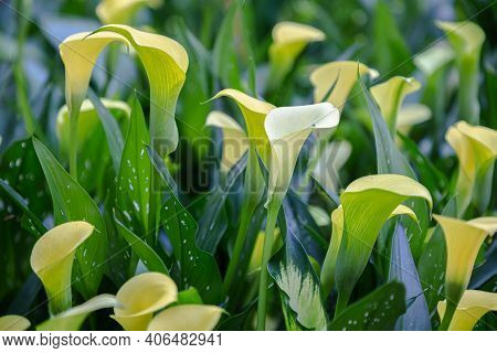 Colorful Calla Lily Flower In The Park. Colorful Flower. Flower In Garden At Spring Day. Flower For