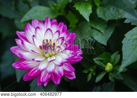 Dahlia Flower In Garden At Spring Day. Colorful Flower. Flower For Decoration Design. Beautiful Flow