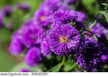 Michaelmas Daisy In The Garden. Michaelmas Daisy Flower. Purple Flower. Flower In Garden At Spring D