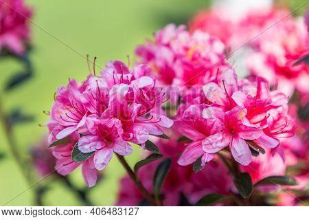 Hododendron Flower In The Garden. Flower In Garden At Spring Day. Colorful Flower. Flower For Decora